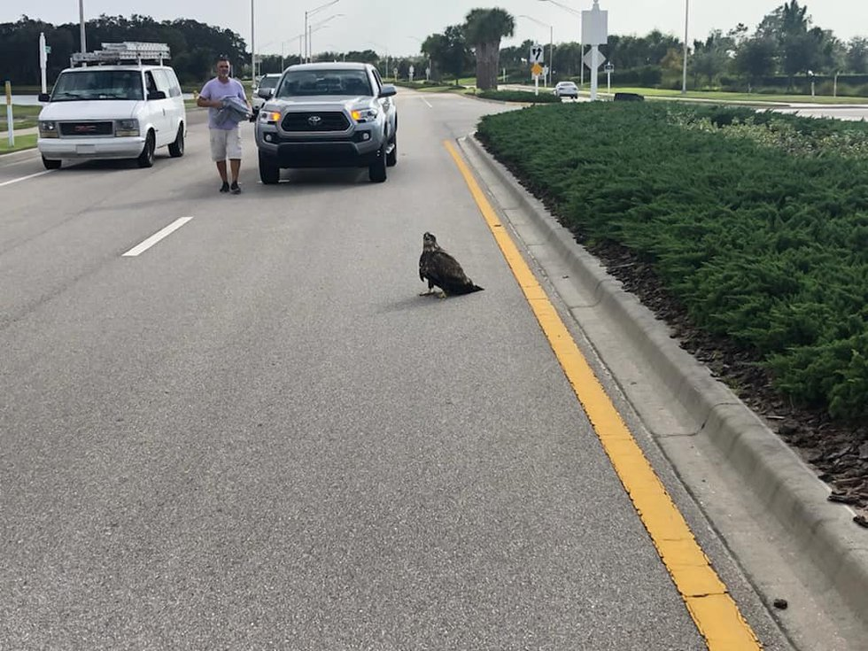 Motorists stop for an injured eagle Thursday in Sarasota County. The bird is in rehab and is...