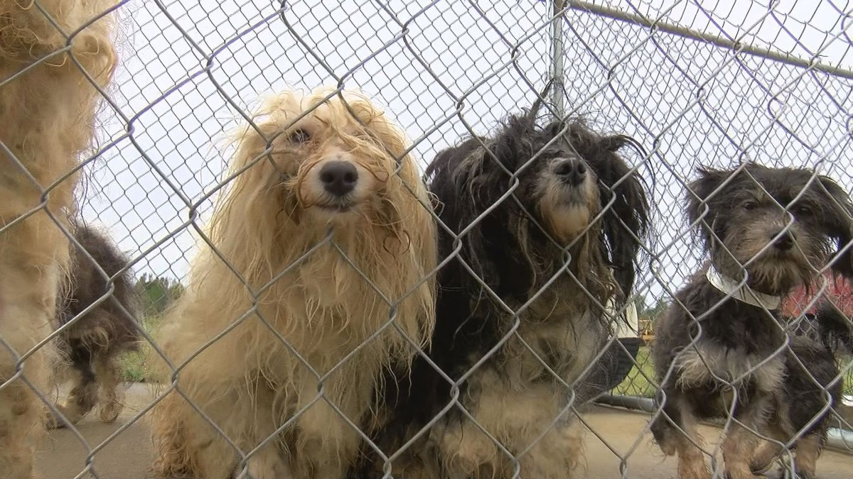 A total of 61 dogs were found at a puppy mill in Webster County. (Source: WALB)