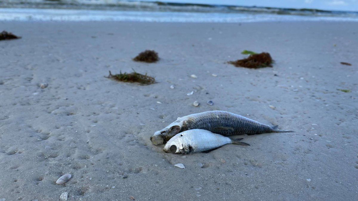 Despite hundreds of dead fish washed ashore, beachgoers still went out to Siesta Key Beach to...