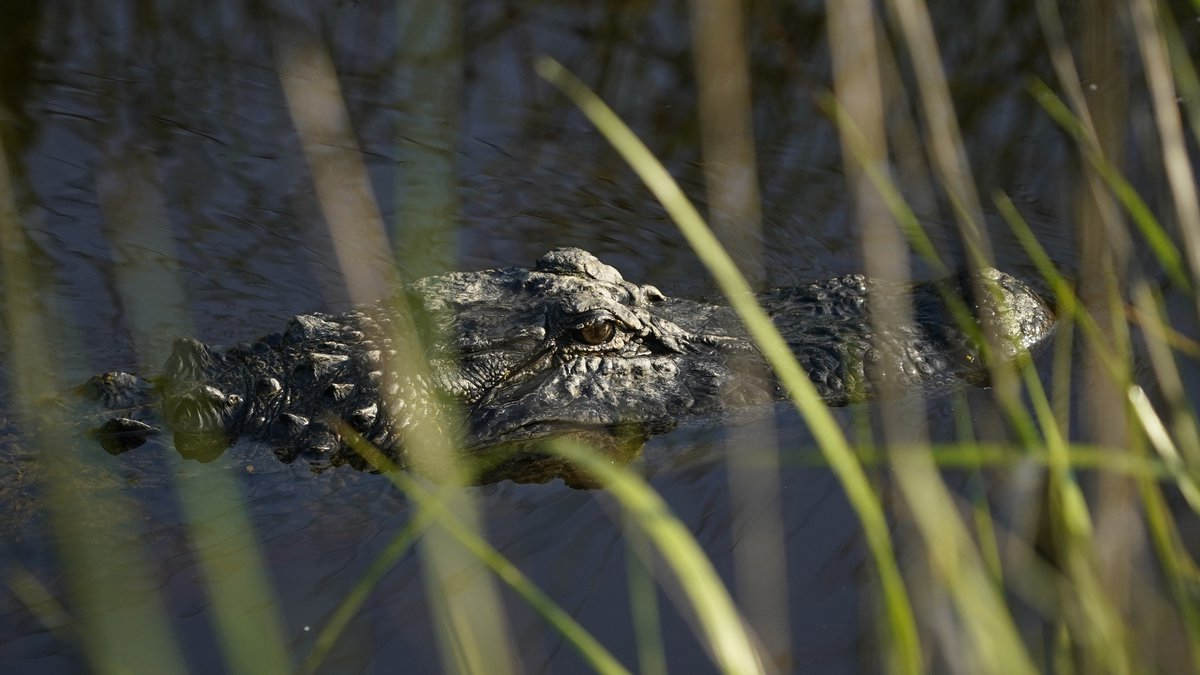 File Photo taken Friday, May 21, 2021, in Kiawah Island, S.C. An alligator in floodwaters from...