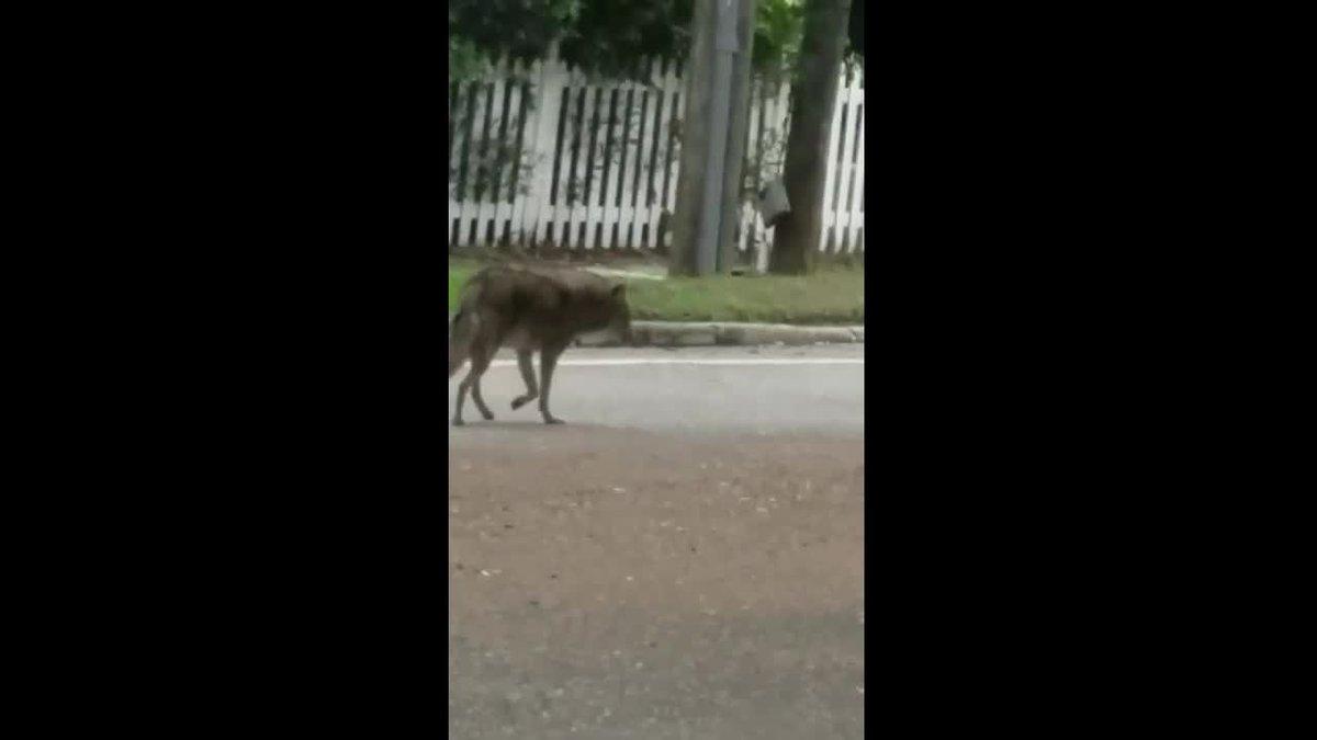 Coyote roams around busy Sarasota street