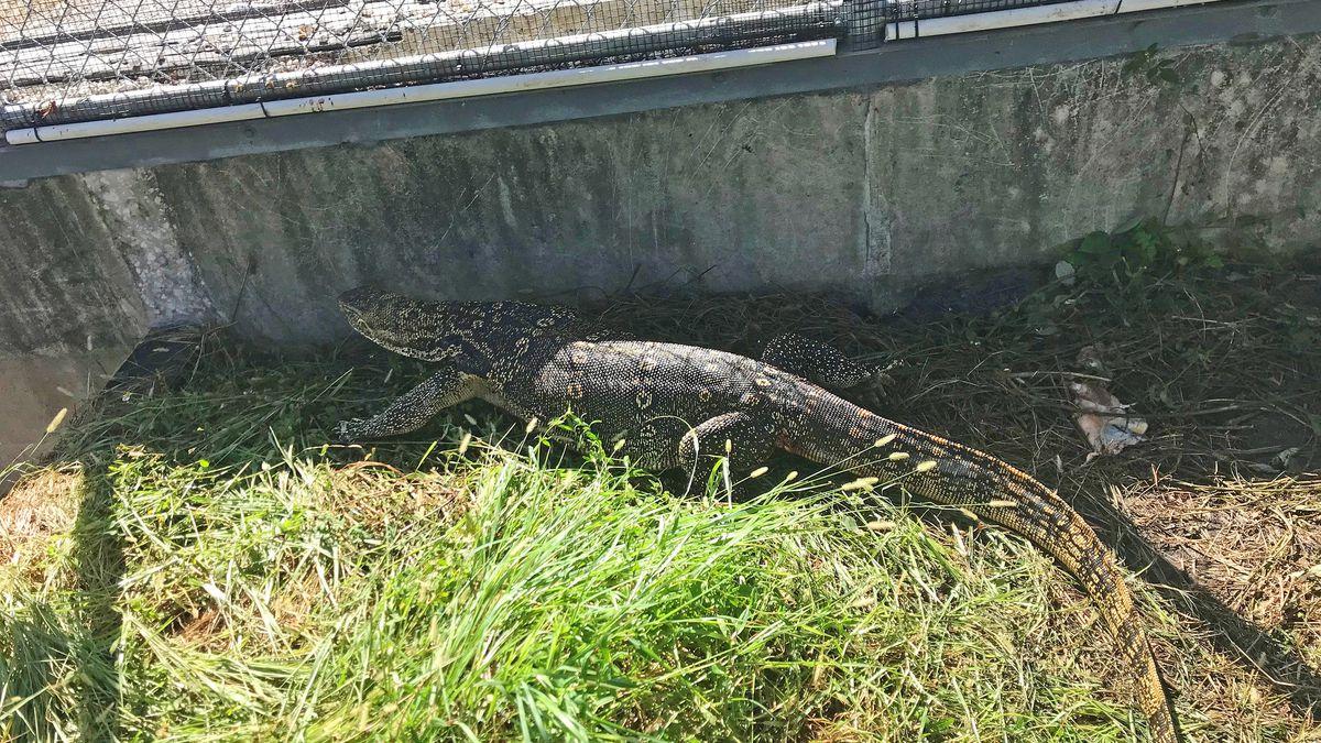 This Asian water monitor lizard was found in a suburban Miami neighborhood