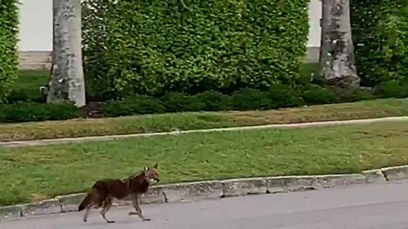Coyote roaming near Sarasota-Bradenton International Airport