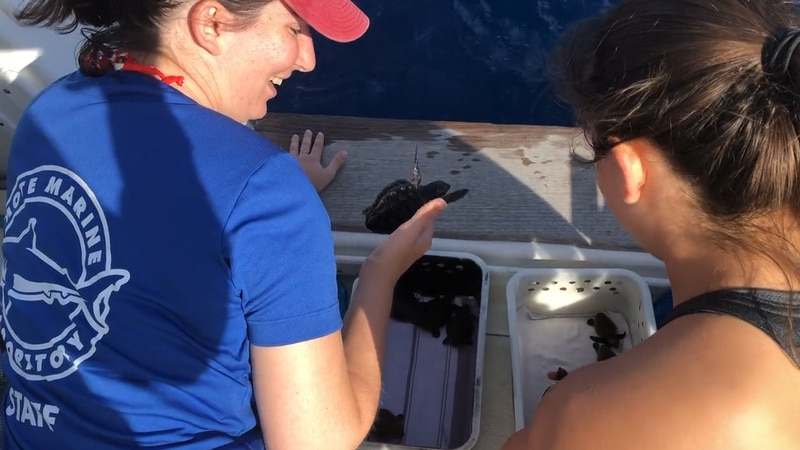 Mote Marine Laboratory staff released rescued sea turtle hatchlings into the ocean recently.