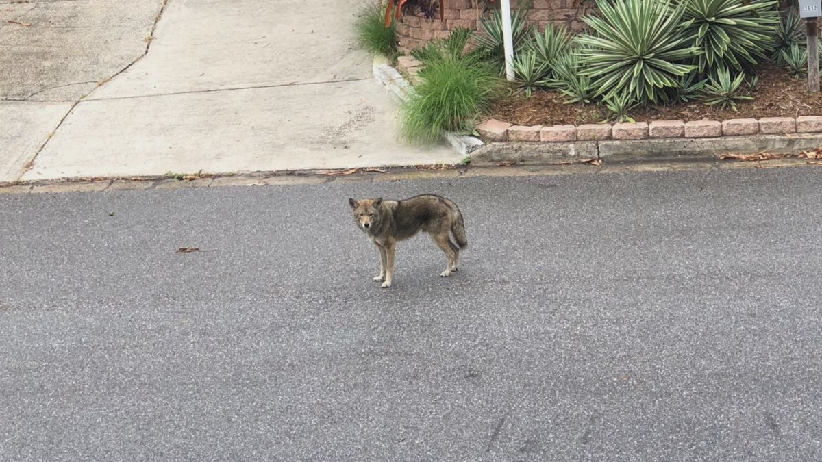 A Sarasota resident took this photo of a coyote on Bay View Drive near S. Osprey Avenue